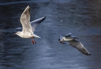 Which way are you going Black Headed Gulls Winter plumage West Park Wolverhampton  x  OC