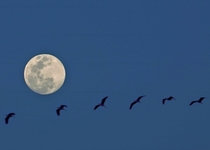While taking pictures of the Moon last month coincidentally this Bird yes singular flew across the the frame Ive created a composite of  images out of that burst capture