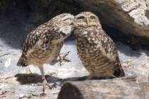 Whispering Burrowing Owls