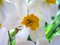 White and Yellow Daffodil Narcissus