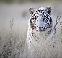 White Bengal Tiger Panthera tigris tigris Photo by Bridgena Barnard