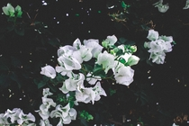 White Bougainvilleas i photographed near my house Theyre everywhere
