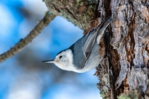 White-breasted Nuthatch probes every crevice of a pine