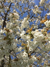 White Cherry Blossom  Chesham Buckinghamshire England