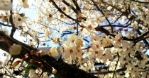 White cherry blossoms on Bainbridge Island Wa