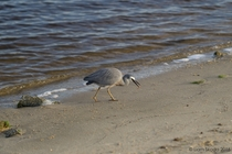 White-faced heron Egretta novaehollandiae hunting worms on beach