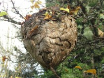 White Faced Wasp nest showing access tunnels