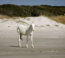 White feral colt at Cumberland Island GA  More info in comments