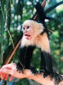 White-headed capuchins in Costa Rica