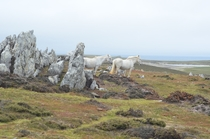 White Horses on the Falklands Islands  x-post rHI_Res