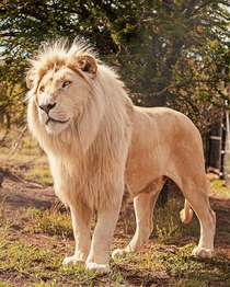 White lion in South Africa Photo credit to ukangiten_productions