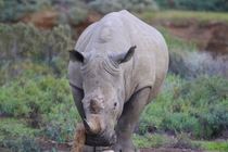 White Rhino in Sanbona