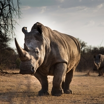 White Rhino in the South African veld Photo credit to Keith Markilie