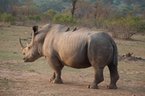 White Rhinoceros - South Africa