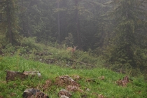 White-tail buck sporting velvet on a misty mountainside