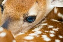White-tailed deer fawn Ododcoileus virginianus by Jerry Mercier x