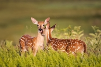 White tailed deer fawns Shenandoah National Park Virginia Photo credit to Richard Bernabe