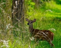 White-tailed deer in Costa Rica  x