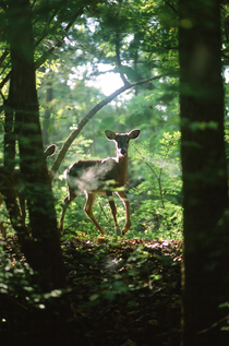 White-Tailed Deer shot with mm slide film