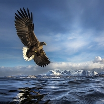 White-tailed Eagle catching a fish in Norway