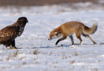 White-tailed Eagle Haliaeetus albicilla and Red Fox Vulpes vulpes