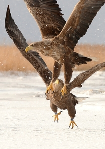 White-tailed eagles Haliaeetus albicilla by Ainar Unus x