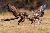 White-tailed eagles Haliaeetus albicilla Photograph by Willi Rolfes