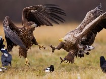 White-Tailed Eagles Poland