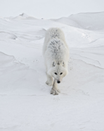 White Wolf by Vincent Munier