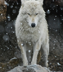 White wolf canis lupus in snow