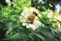 White Zinnia zinnia acerosa amp a bumble bee coming for a pollinating session   x