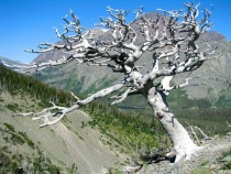 Whitebark Pine Pines Albicaulis in Glacier National Park Montana USA
