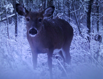 Whitetail deer in a snowy forest Northern Highland American Legion State Forest