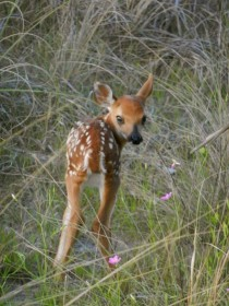 Whitetail fawn Amelia Island FL  cross-posted with aww