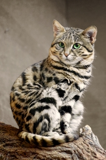 Wild Blackfooted Cat kitten