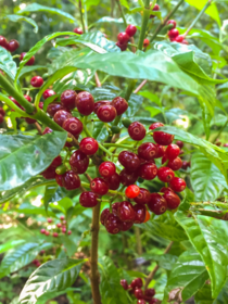 Wild coffee with fruit Psychotria nervosa