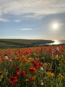 Wild flowers at West Pentire Cornwall UK