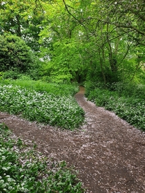 Wild garlic blooming about a month ago in Woodthorpe park Nottingham England  x
