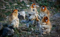 Wild golden monkeys Qinling Mountains China x