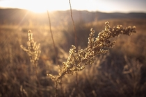 Wild grass giving Golden Colorado its name  karphoto