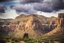 Wild horse grazing in Havasupai Canyon Arizona