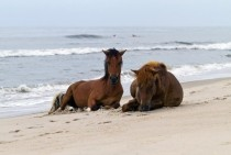 Wild horses of Assateague resting