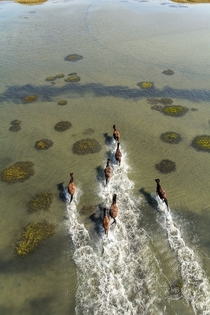 Wild horses of Shackleford Banks Cape Lookout National Seashore Carteret County North Carolina