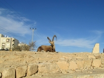 Wild Ibex I stumbled upon while hiking