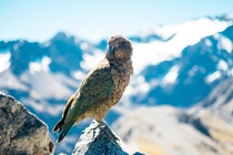 Wild Kea New Zealand Photo credit to Pablo Heimplatz
