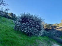 Wild Lilac in full bloom on the trail this morning part  Im guessing Ceanothus crassifolius