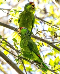 Wild Parrots in Southern California