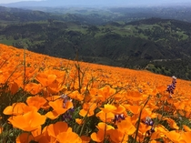 Wild poppies at Grass Mountain Los Olivos CA