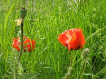 Wild poppy near the Gamla Uppsala historic site Sweden