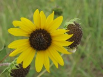 Wild Sunflower Helianthus annuus Texas